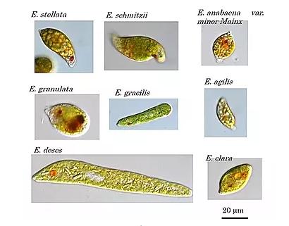 さまざまな形質を持つミドリムシ