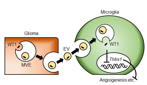 細胞外小胞による神経膠腫の進展機構を解明