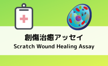 創傷治癒アッセイ(Scratch Wound Healing Assay