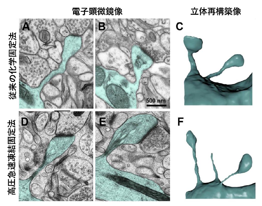 マウス大脳皮質スパインの電子顕微鏡像と3D再構築像