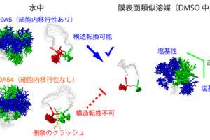 環状ペプチドは立体構造を変えて細胞に入る【理化学研究所】